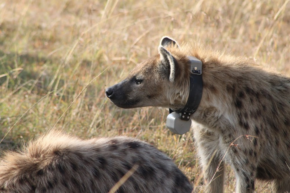 Collard spotted hyena.
