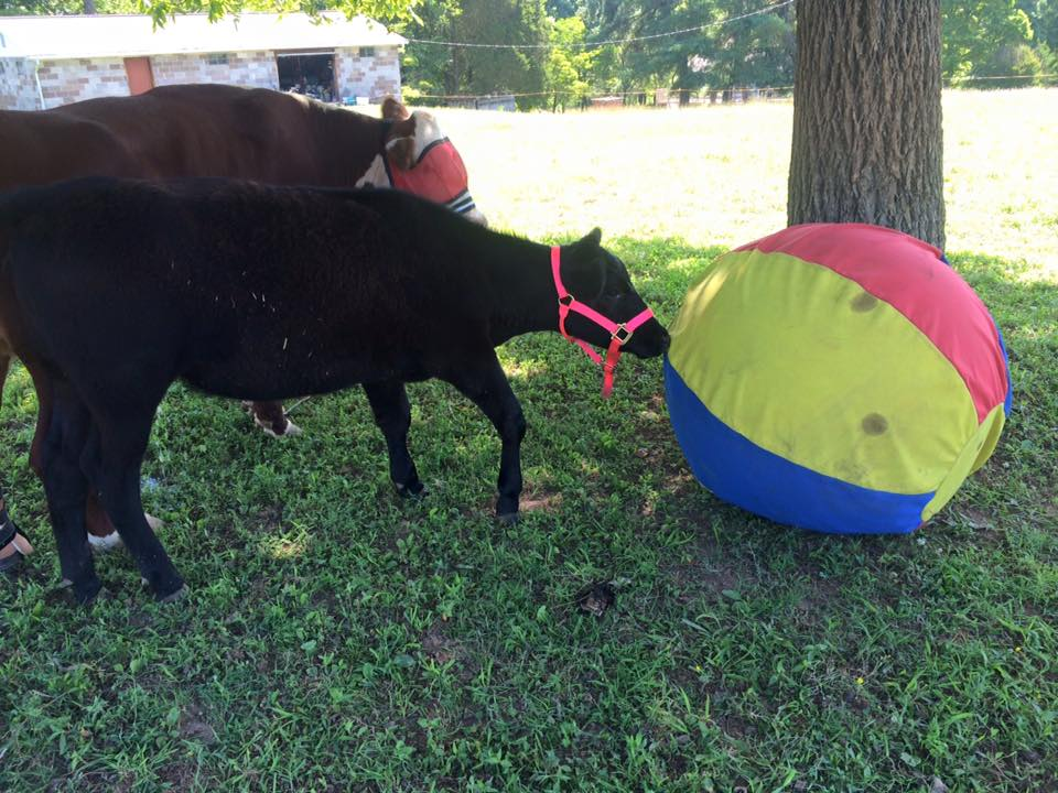 Destiny plays with Dudley's heavy duty beach ball at The Gentle Barn Tennessee.